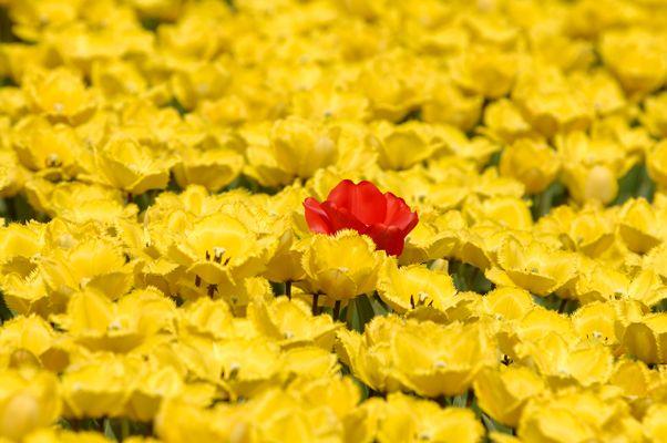 Veld met gele tulpen